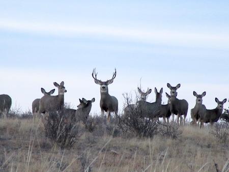 Giant Idaho Mule Deer Buck