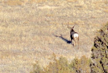 Idaho Mule Deer, Giant Buck